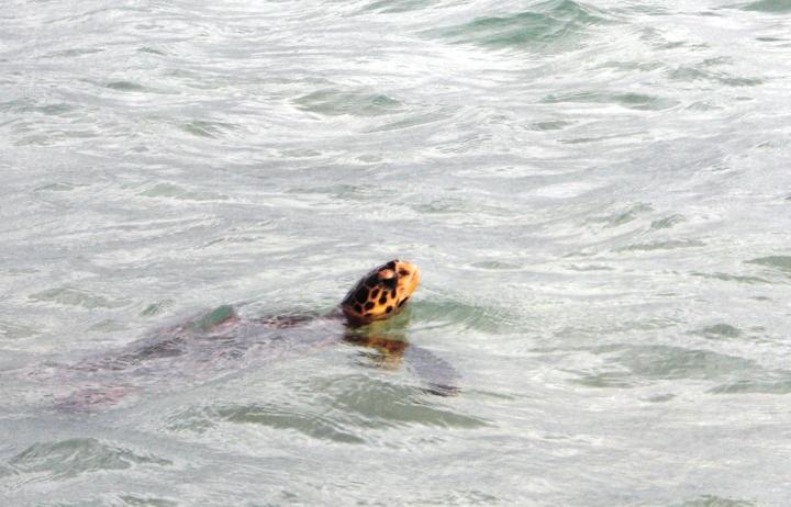Nessy, la tartaruga Ninja di Handhufushi